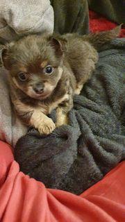 süße Chihuahua langhaar Hündin