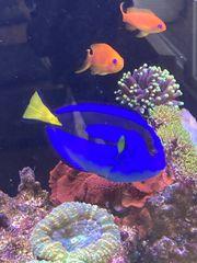 blauer Paletten - Doktorfisch