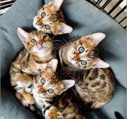 Kitten Katzenbabys Bengal