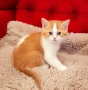 Katze Kitten BKH Junge Stammbaum
