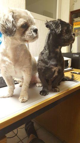 Deckrüden Shih-Tzu Malteser Havaneser Bolonka: Kleinanzeigen aus Düren Lendersdorf - Rubrik Hunde
