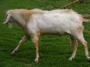 Anglo-Nubier-Ziege Bock Herdbuch Milchzuchtlinie TOP-Bewertung