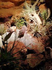 2Leopardgeckos zu verkaufen