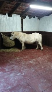 Offenstallplätze für Shettys kleine Ponys