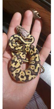 königspython vanilla pastel yellowbelly 100