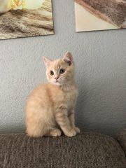 Perser-BKH Kitten Kater