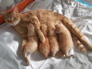 Kitten Kater rot