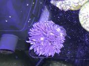 Korallen Ricordea florida Goniopora rosa