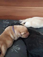 Sehr typvolle Labradorwelpen Schwarz Gelb