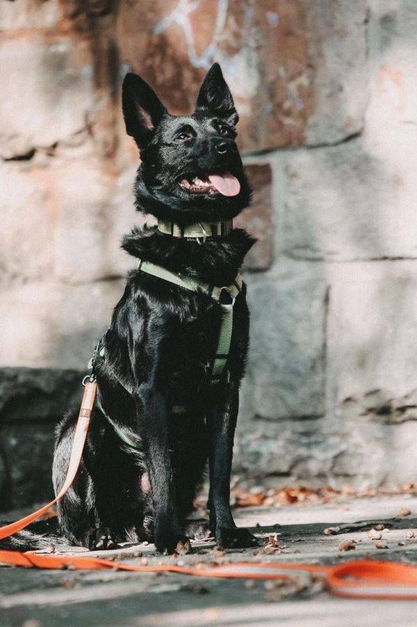 aufgeweckter kroat Schäferhund Mischlingsrüde Gyros