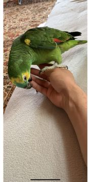 Blau Amazone Papagei