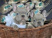 Französisch Bulldogge Welpen zur Verfügung