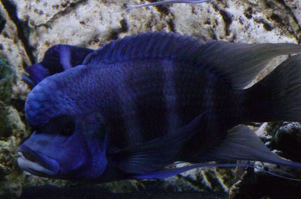 Cynothylapia Frontosa Blue Zaire Moba