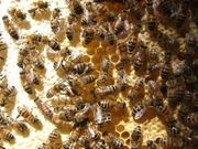 Bienen-Ableger