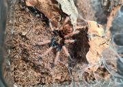 Vogelspinnen Spiderlinge