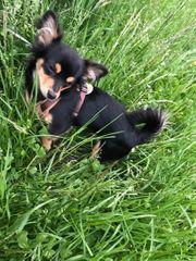 Chihuahua Hündin 8 Monate alt