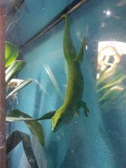 Gecko Weibchen inklusive Terrarium