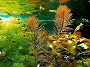 Rotes Mato Grosso Tausendblatt Wasserpflanzen