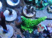 Koralle Meerwasser Aquarium Acropora grün
