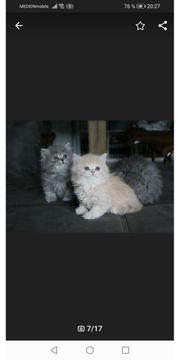 Blh Kitten Lilac