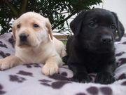 schöne Labrador Retriever Welpen zur