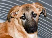 Belgische Schäferhunde Malinois x Labrador