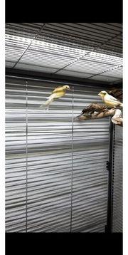 Kanarienvogel Timbrado