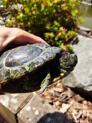 Rotwangen Schmuckschildkröten
