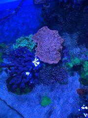 Montipora Koralle rot