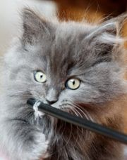 Süsses Ragdoll Kätzchen zu verkaufen