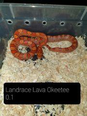 kornnatter Landrace Lava Okeetee NZ