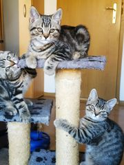 Bezaubernde BKH Tabbys Kitten