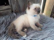 Traumhafte Neva Masquarade Sibirische Waldkatzen