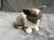 Original Mini Lop Kaninchen Babys