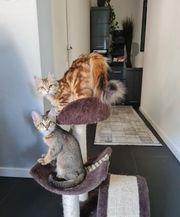 Sibirische Waldkatze Somali-Bengal Kitten
