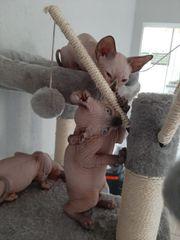 Sphynx-Elf Baby Katzen