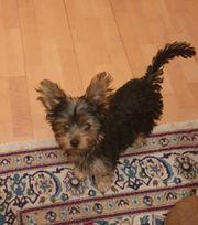 Welpe Mini Yorksher Terrier zu