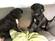 Wundervolle Labradormischlinge