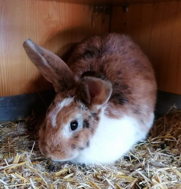 Kaninchen Mädchen 10 Monate alt