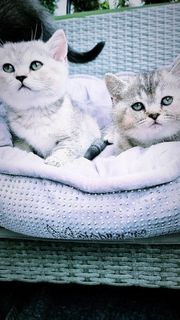 BKH Kätzchen dürfen ausziehen