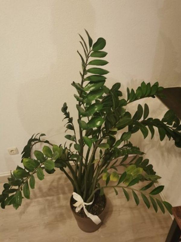 Glücksfeder - Zimmerpflanze mit Topf