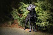 Labrador Deckrüde charcoal mit Deckerfahrung