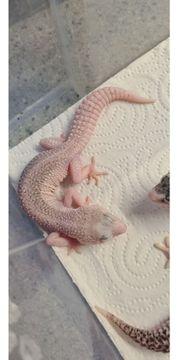 Universe 0 1 leopardgecko