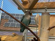 Agaporniden blaue Jungvögel