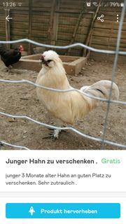 Junger kleinwüsiger Hahn