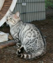 Bengal Deckkater silver spotted