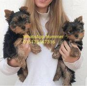 Yorkshire terrier mini welpen djdj