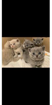 Bkh Kitten neu geboren