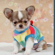 Wir sind alle langhaarige Chihuahua