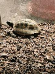 grichisches landschildkröte männchen